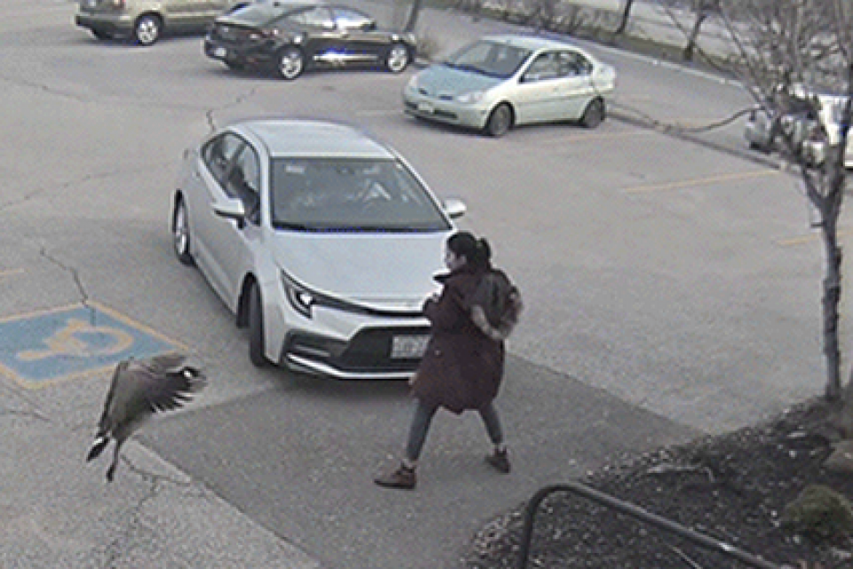 Protective Goose Attacks Girl in Parking Lot